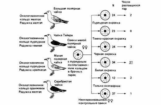 Биология Стратегия полов и социальная организация Курсовая  Рис 1 Изолирующие механизмы у чаек