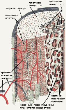Биология Анатомия Реферат Учил Нет  Кости скелета человека образованы костной тканью разновидностью соединительной ткани Костная ткань снабжена нервами и кровеносными сосудами