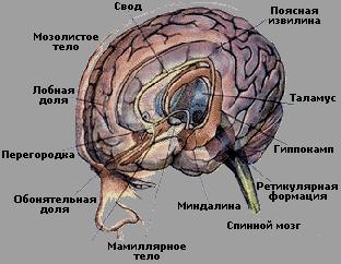 Психология Психофизиология эмоций Реферат Учил Нет  Лимбическая система комплекс функционально связанных между собой филогенетически древних глубинных структур головного мозга участвующих в регуляции