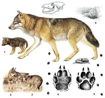 Доклад по биологии волк 9761