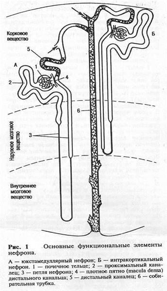 Биология Энергетические вещества тканей почки Реферат Учил Нет  нисходящий участок петли Генле спускающийся в мозговое вещество почек где он изгибаясь на 180 градусов переходит в тонкий восходящий а затем толстый
