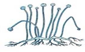 Биология Классификация грибов Реферат Учил Нет  Всем известный представитель этой группы мукор образует белую плесень на конском навозе и пищевых продуктах При встрече гиф разного знака их концы