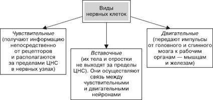 Биология Нервная система человека Реферат Учил Нет  Клеточное строение нервной системы Виды нервных клеток показаны на рис 2